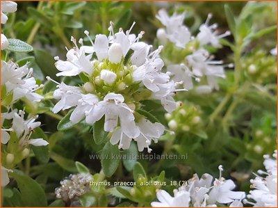Thymus praecox 'Albiflorus' | Kruiptijm, Tijm | Frühblühender Thymian